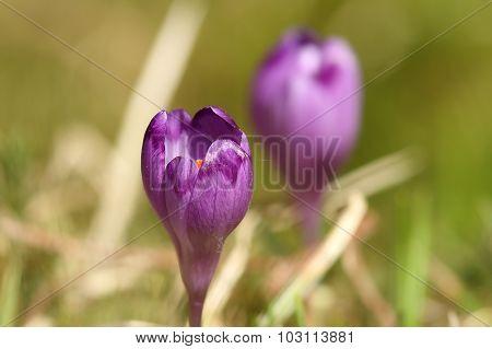 Close Up Of Wild Spring Crocus