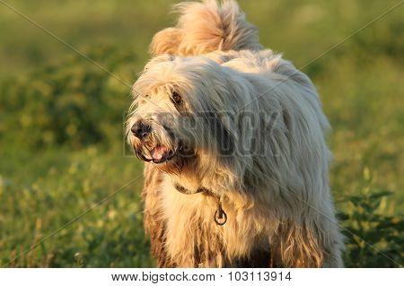 Dirty Fluffy Romanian Shepherd Dog