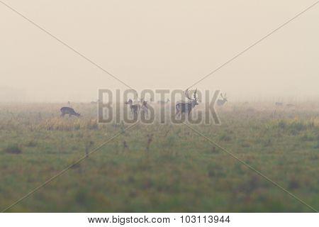Fallow Deers In Mating Season