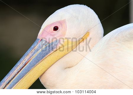 Great Pelican Close Up