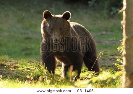 Huge Brown Bear, Wild Specimen In Harghita Mountains