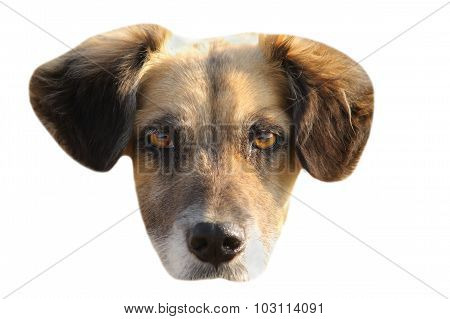 Isolated Portrait Of Mongrel Dog