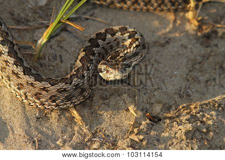 Moldavian Meadow Viper