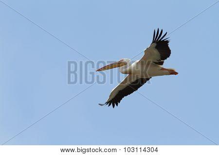 Pelecanus Onocrotalus In Flight Over Blue Sky