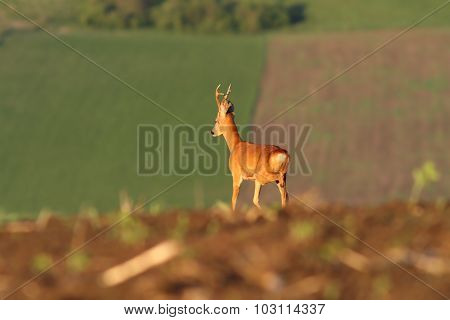 Roe Deer Buck On Agricultural Fields