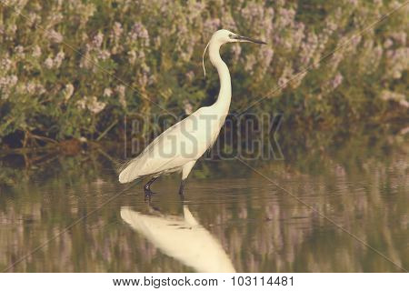 White Heron Hunting In Shallow Water