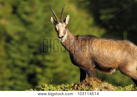 Wild Chamois Looking At The Camera