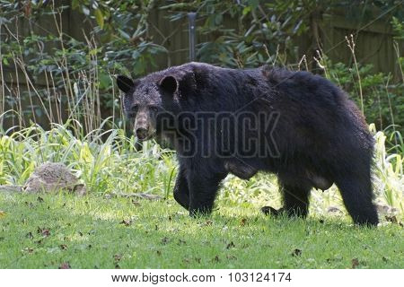 Lactating Female Black Bear