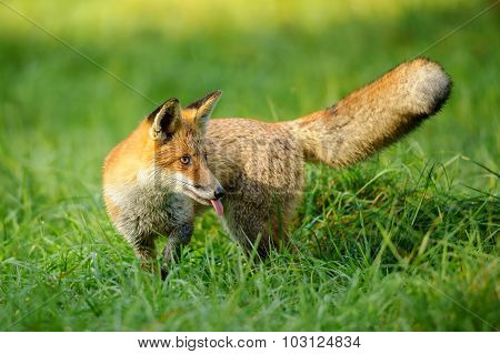 Red Fox Stick It's Tongue Out