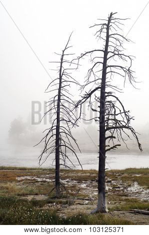 Trees without leaves between fog, Yellowstone National Park, United States.