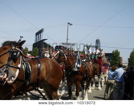 Budweiser Clydesdales Get Ready For All-star Parade
