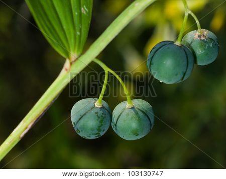 Riping Berries Of Polygonatum Odoratum, Angular Solomon's Seal, Macro, Selective Focus
