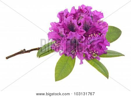 Rhododendron  isolated on white
