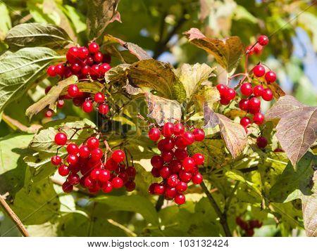 Red Berries Of A Guelder Rose Or Viburnum Opulus, Selective Focus