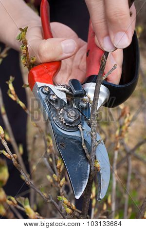 Hand With Secateurs