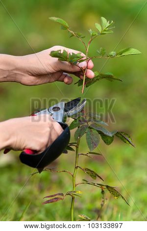 Hands Pruning Rose With Secateurs