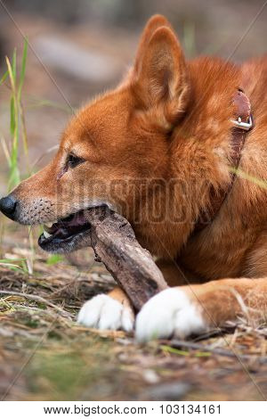 Hunting Dog Playing With Stick