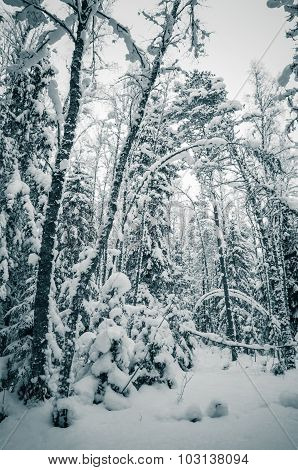 Winter Snow Covered Trees. Viitna, Estonia.