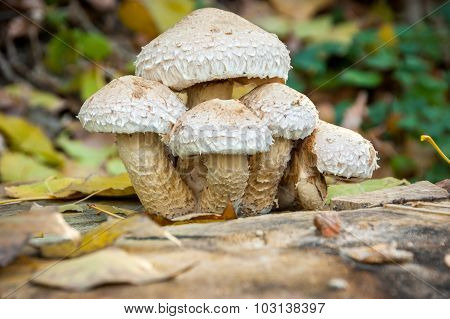 Mushroom On A Tree Stump, Fall,fungus, Mushroom, Forest, Stump,