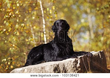 Wet Retriever Lies On A Large Stone