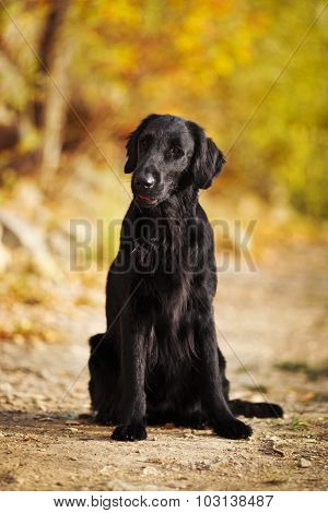 Shaggy Black Retriever