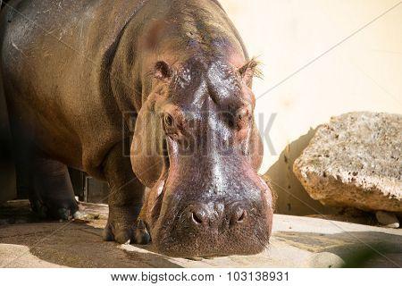 Hippo under the bright summer sun