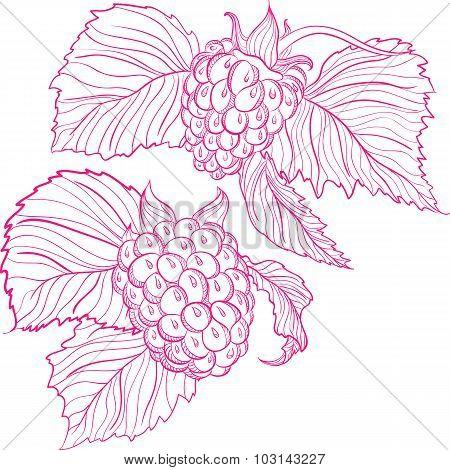Vector drawing of raspberries