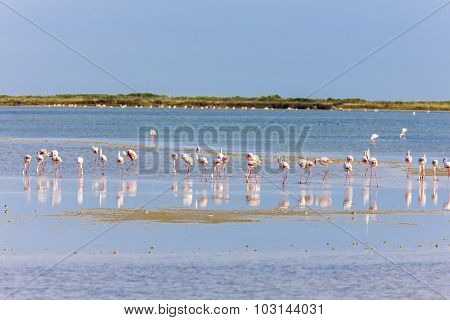 flamingos in Camargue, Provence, France