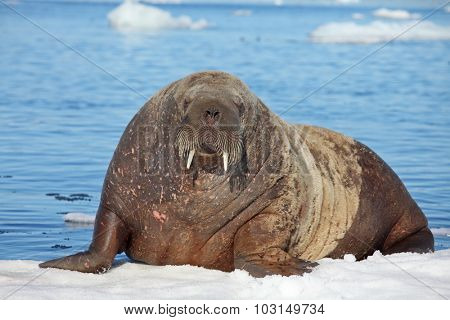 Walrus cow on ice floe