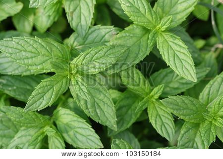 Growing mint leaves.