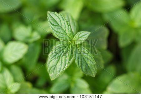 Growing mint leaves.
