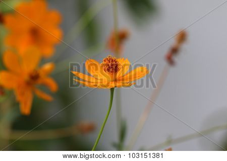 Orange cosmos flowers.
