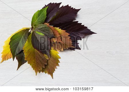 Autumn Leaves Of Grapes, Yellow, Green And Violet, Lie In The Right Top Corner Of A Light Wooden Boa