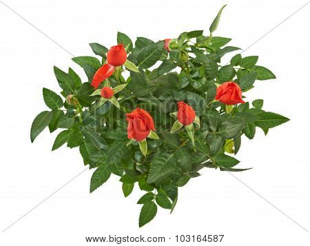 Flowers of red rose