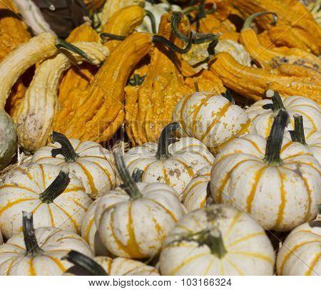 Decorative white and orange decorative Pumpkins and Gords