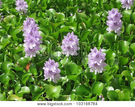 Lilac flowers, green leaves, water hyacinth