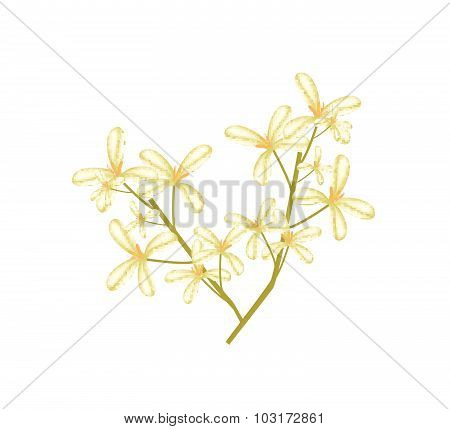 Beautiful Sweet Osmanthus Flower On White Background