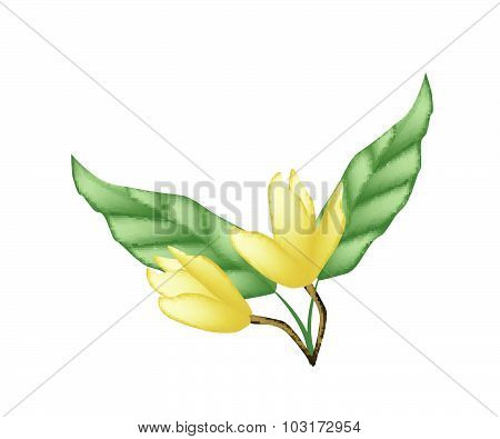Two Yellow Magnolia Blossoms On White Background