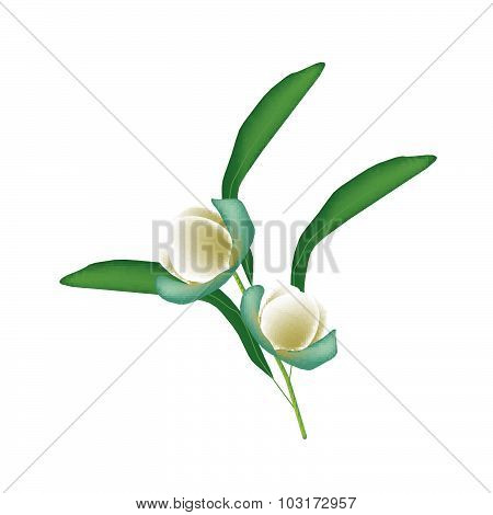 Two Magnolia Coco Blossoms On White Background