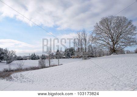 Large Oak Tree after Winter Snow