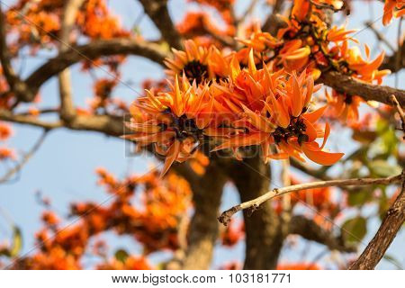 Flame Of The Forest,butea Monosperma O.ktze, Leguminosae-papilio Noideae
