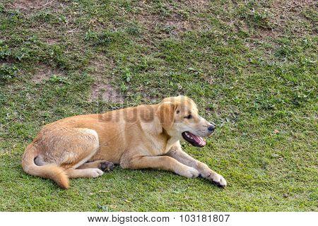 Thai Dog Sleeping On Green Grass.