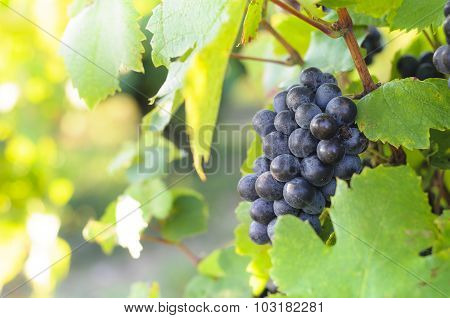 Grappe For Red Wine