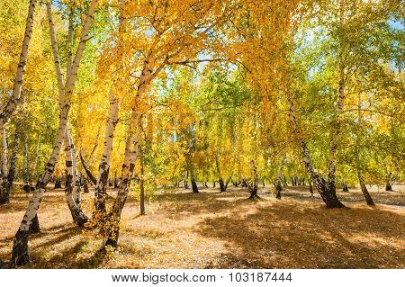 Yellow Birch Trees In Autumn Forest
