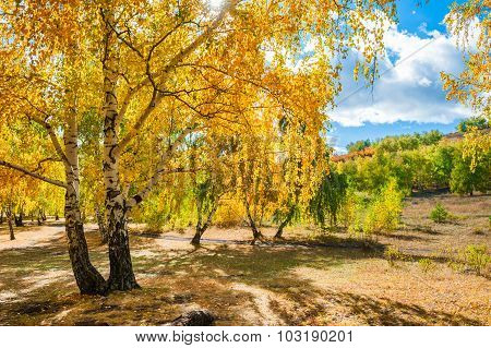 Yellow Birch Trees In Autumn Forest.