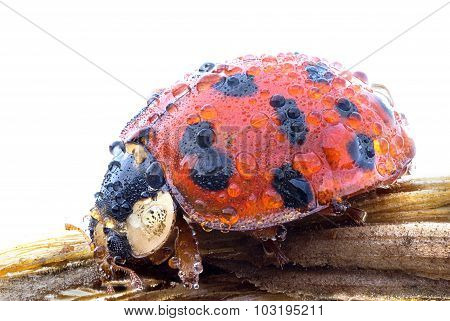 Ladybug With Dew Drops Macro