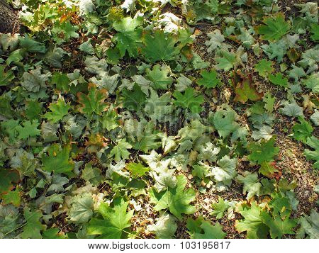 Top View Of The Green Fallen Maple Leaves