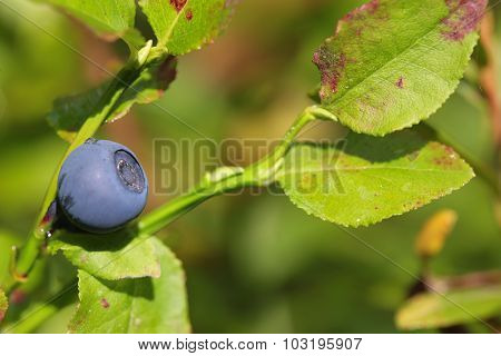 Wild blueberry on the bush in forest. Vaccinium myrtillus