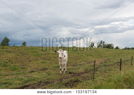 White Cow With Black Spots And A Looming Cloudy Sky