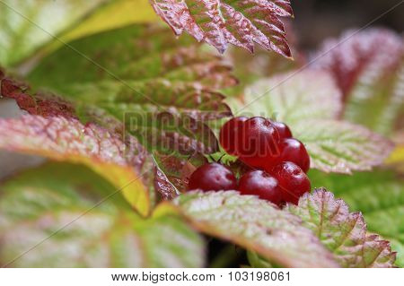 The bush of stone bramble berries. Rubus saxatilis